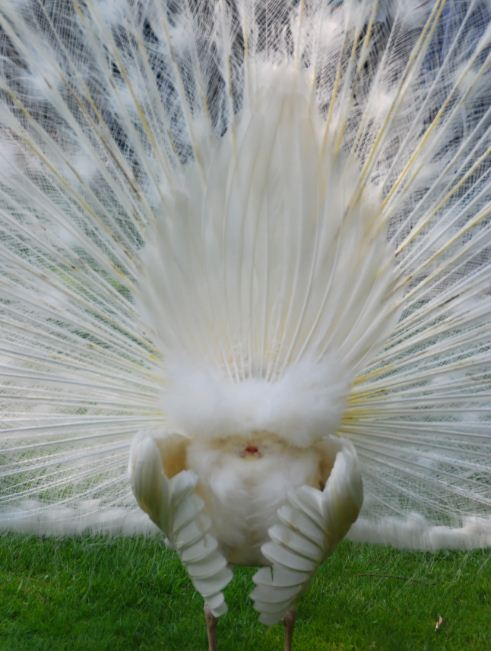 White peacock fan tail