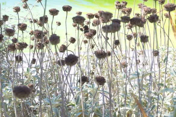 Overexposed photograph of wildflower seedpods