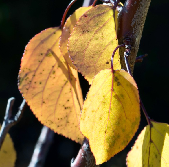 Enlargement of yellow leaves showing great image quality in a Sony NEX-5N picture
