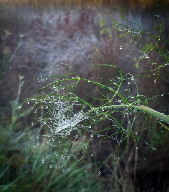 Dew on a spyder web pictured with a Sony NEX-5N and Leica Elmarit R 19