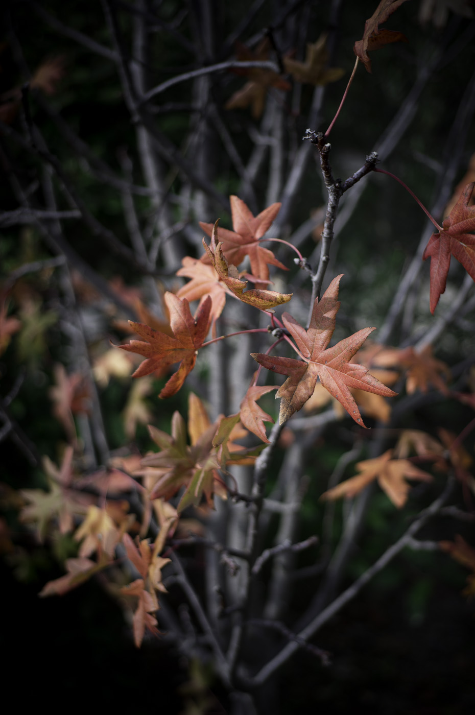 Last red leaves on an apple tree, Sony Nex-5N & Voigtlander COlour-Skopar 35/2.5 PII