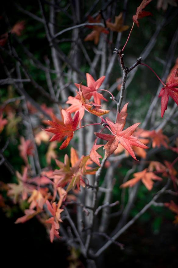 Last red leaves on an apple tree, Sony Nex-5N & Voigtlander COlour-Skopar 35/2.5 PII