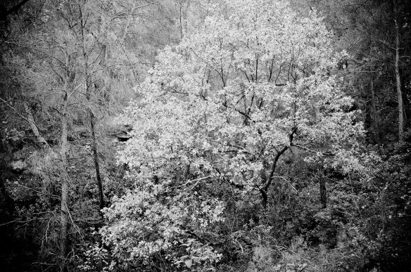 A B&W picture of a yellow tree on a gree background, Sony NEX-5N & Zeiss ZM Biogon 25/2.8