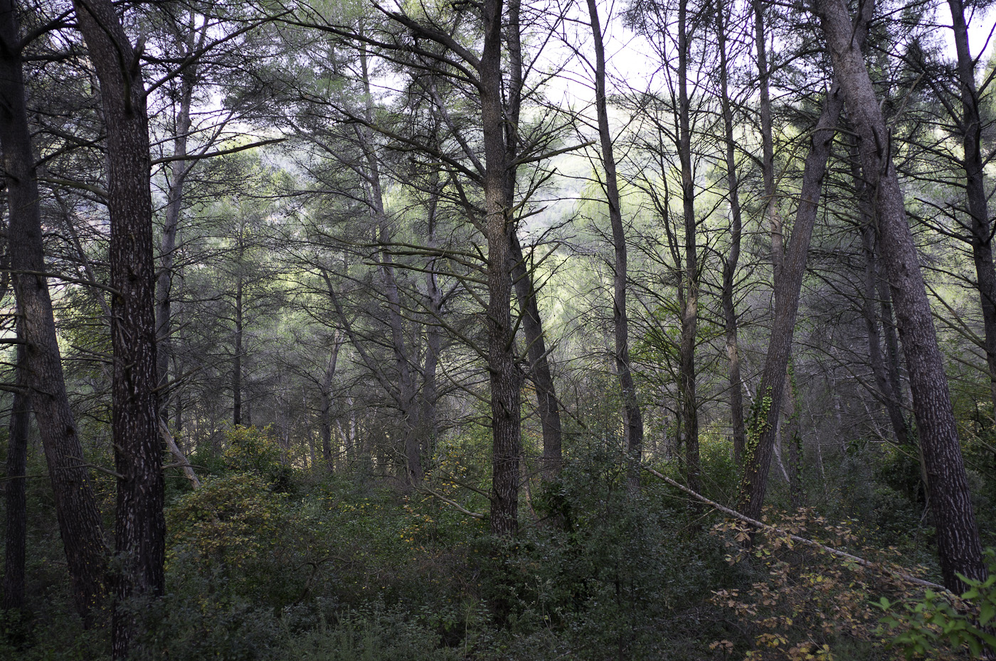 A forest in slight mist, Sony NEX-5N & Zeiss ZM Biogon 25mm/2.8