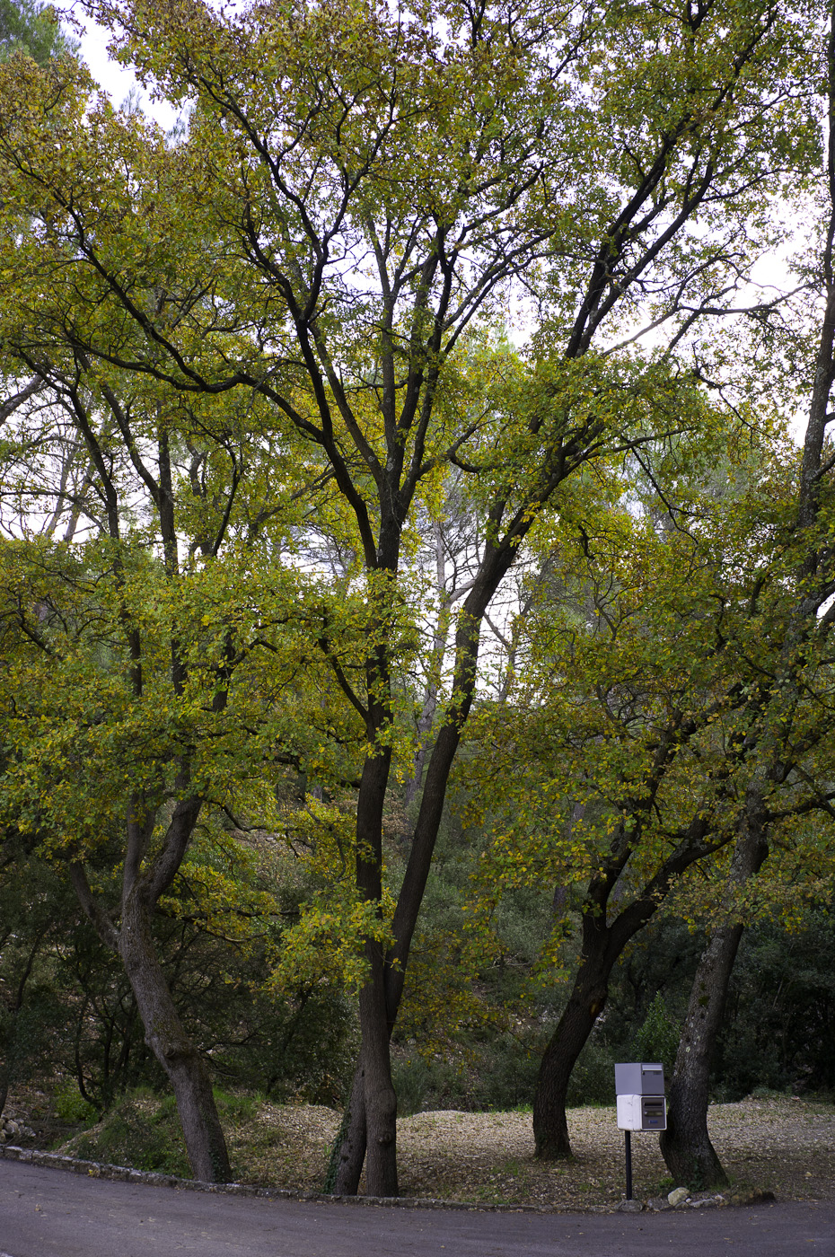 Yellow green trees in autumn, Sony NEX-5N & Zeiss ZM Biogon 25