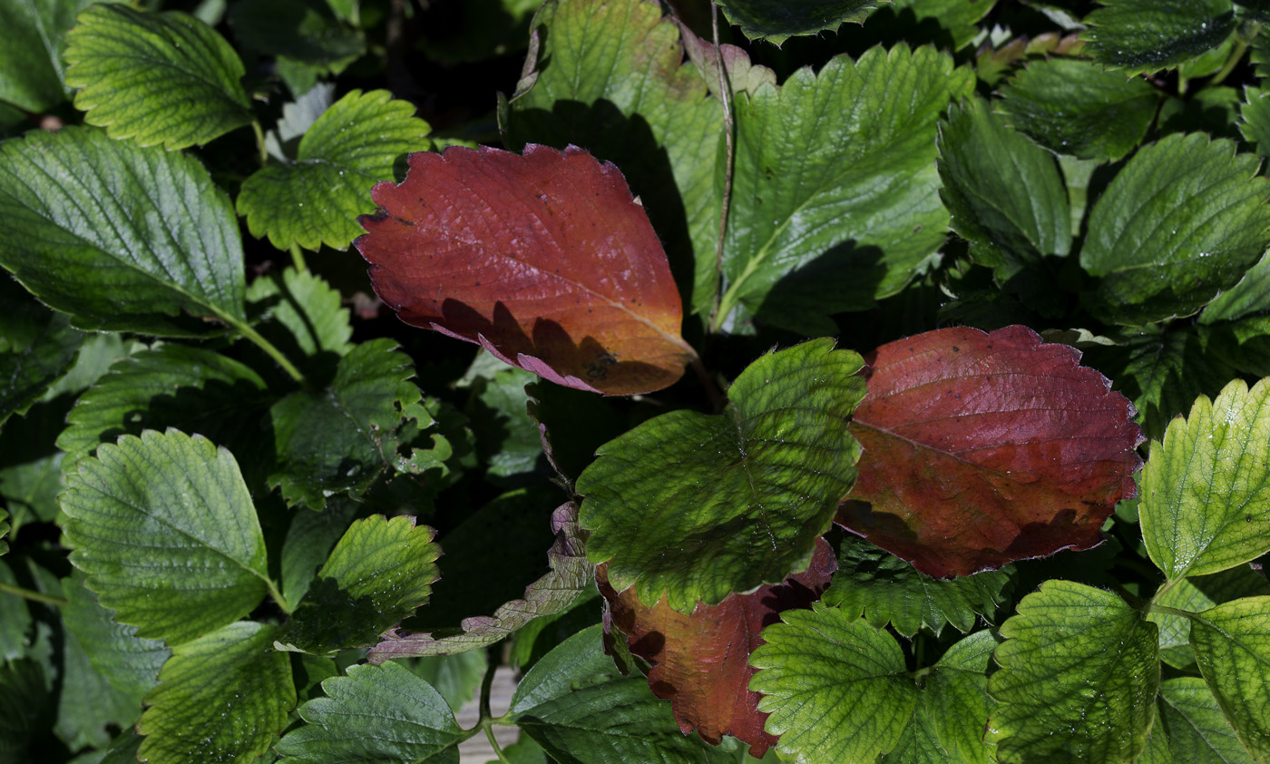Strawberry leaves, Sony NEX-5N & Leica Summicron-R 50