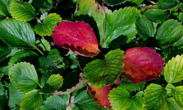 Strawberry leaves, Sony NEX-5N & Leica Summicron-R 50