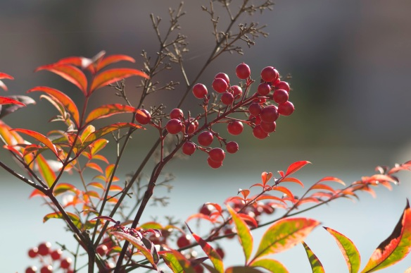 Red berries against a blurred background, Sony NEX-5N & Zeiss Contax Sonnar 135/2.8