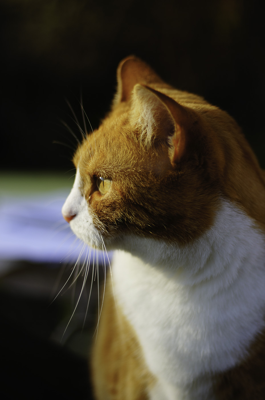 A cat looking intently at something, Sony NEX-5N & Leica Summicron-R 50