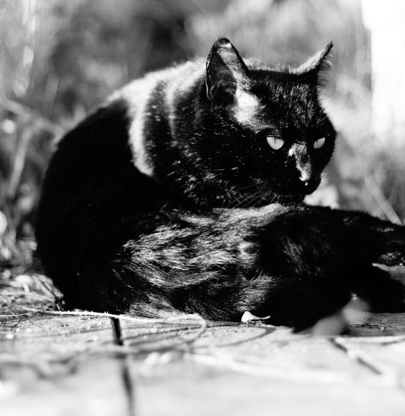 A black cat in B&W, Sony NEX-5N & Summicron-R 50
