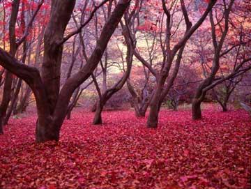 Fall colours in Winkworth Arboretum, Surrey, England, shot with a Fujica 645