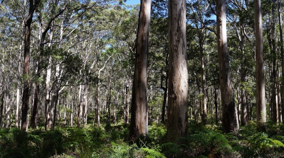 The Boranup karri forest on Caves Road, South Western Australia. Panorama using the Sony NEX-5N and Zeiss ZM Biogon 25/2.8
