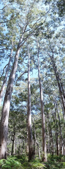Tall trees in Boranup Karri Forest, WA. Panorama using the Sony NEX-5N and Zeiss ZM Biogon 25/2.8