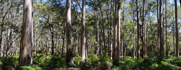 Tall karri trees at Boranup forest on Caves Road, Western Australia