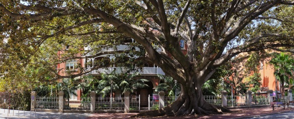 A magnificient Moreton Bay fig tree in central perth. Panorama using the Sony NEX-5N and Zeiss ZM Biogon 25/2.8
