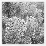 Euphorbia in B&W, from Instagram