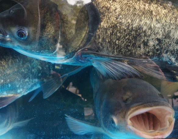 Bright blue fish in a restaurant fishtank in Hong-Kong. Sony NEX-5n