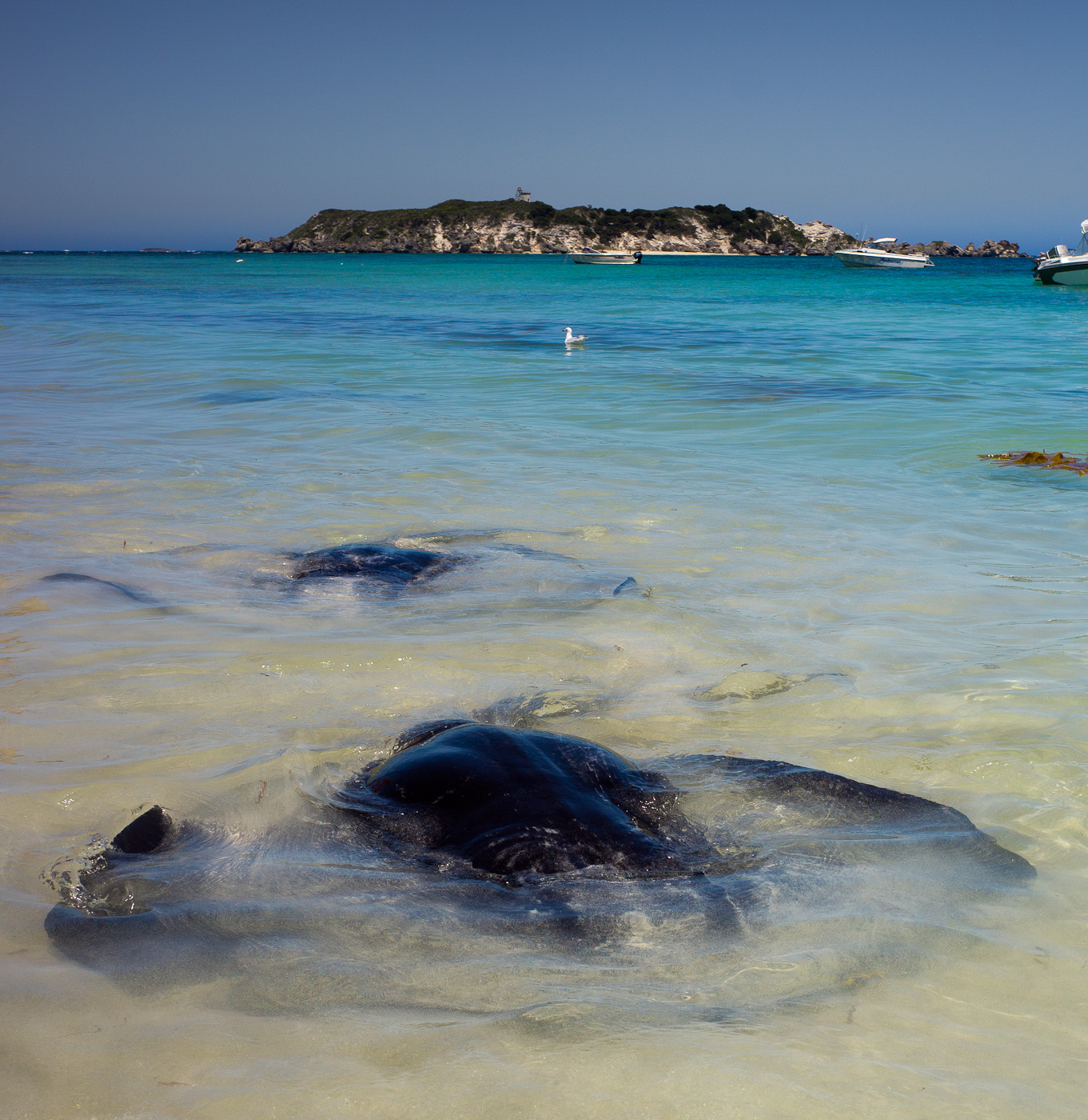 A group of Stingrays in Hamelin Bay, Western Australia. Sony NEX-5n, Biogon 25/2.8 by Zeiss