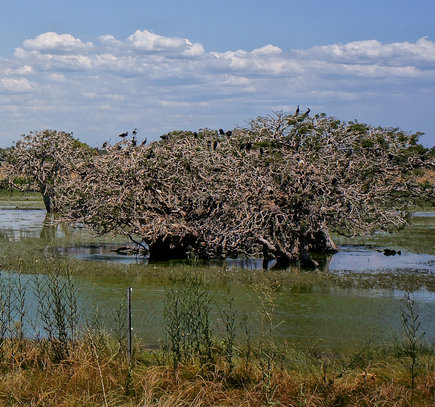 Weid trees in a swamp are home to dozens of ibises. Rockingham, WA. SOny NEX-5n, Elmarit-M 90/2.8