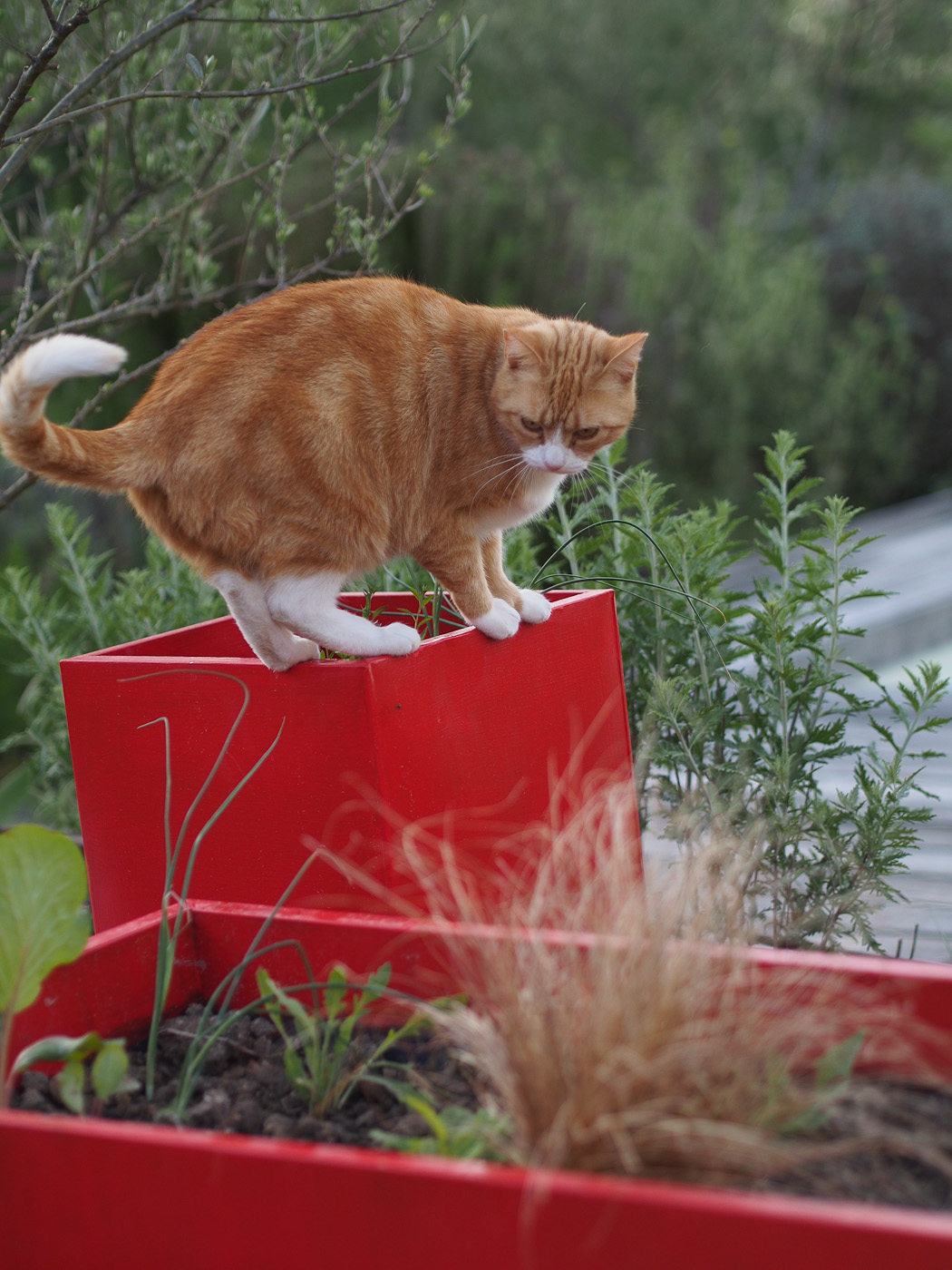 A ginger cat on red flower pots. Olympus OM-D E-M5
