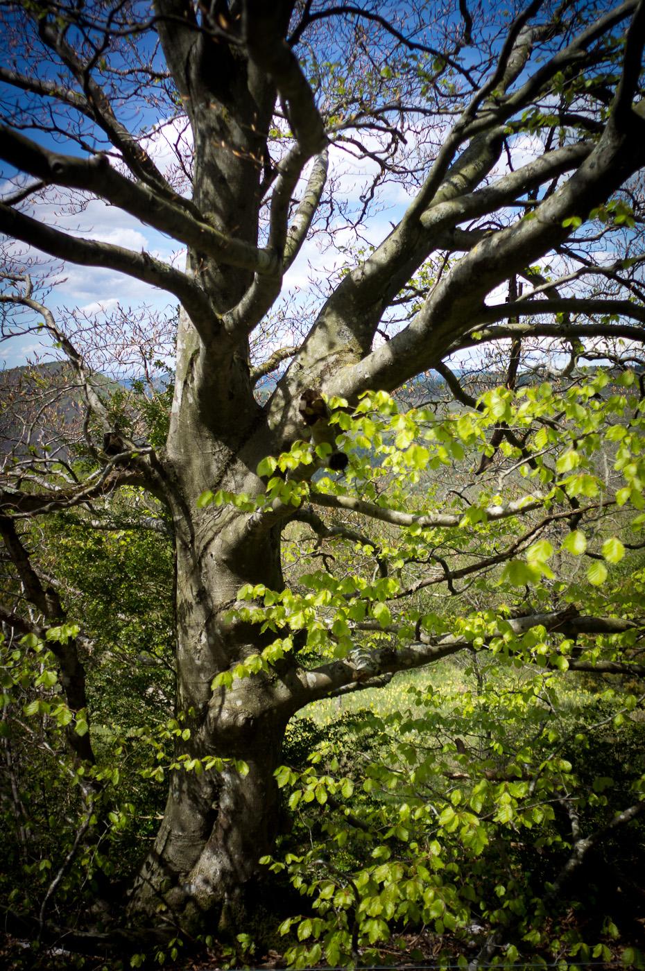 A pretty tree on the way to Bugarach's summit